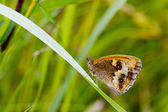 Gatekeeper Butterfly — Foto Stock