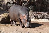 Hipopótamo de áfrica — Foto de Stock