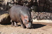 Hippopotamus from africa — Stock Photo