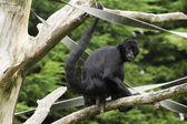 Black Spider Monkey — Stock Photo