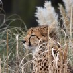 Постер, плакат: Cheetah resting