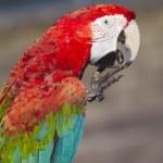 Scarlet macaw  — Stock Photo #50182805