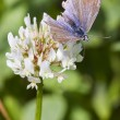 Постер, плакат: Common Blue Butterfly