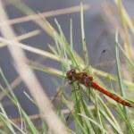 Ruddy Darter Dragonfly — Stock Photo #50184795
