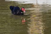 El pato — Foto de Stock