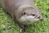 Otter on grass — Stock Photo
