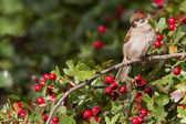 Tree Sparrow — Stock Photo