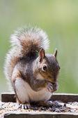 Squirrel feeding — Stock Photo