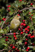 Greenfinch preched  in hawthorn — Stock Photo