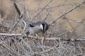 Southern Grey Shrike — Stock Photo
