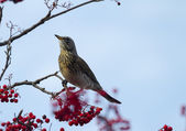 Redwing perched on branch — Stock Photo