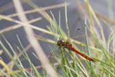 Ruddy Darter Dragonfly — Foto de Stock