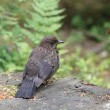 Blackbird Juvenile — Stock Photo #50270195
