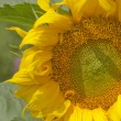 Yellow Sunflower — Stock Photo #50276691