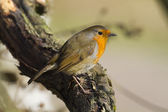 Robin perched on a branch — Stock Photo