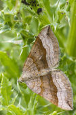 Shaded broad-bar  Moth — 图库照片