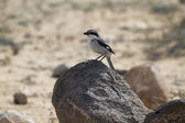 Southern Grey Shrike — Stock Photo