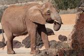 Grande elefante — Foto Stock