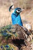 Blu pavone — Foto Stock