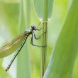 Banded demoiselle — Stock Photo #50291979