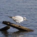 Black headed gull — Stock Photo #50295721