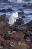 Little egret — Stock Photo