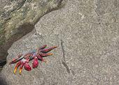 Purple Crab — Stock Photo