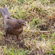 Blackbird Juvenile — Stock Photo #50433035