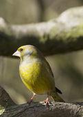 Greenfinch preched  on branch — ストック写真