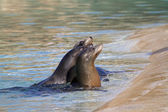 Sea Lions — Stock Photo