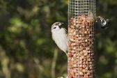 Tree Sparrows (Passer montanus) — Stock Photo
