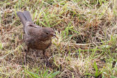 Blackbird Juvenile — Stock Photo