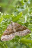 Shaded broad-bar  Moth — Stock Photo