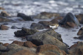European Common Sandpiper — Stock Photo