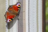 Peacock fjäril — Stockfoto