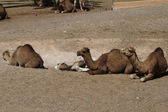 Camels without straps — Stock Photo