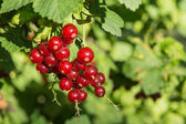 Red currants on a branch — Stock Photo
