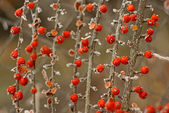 Red berries covered with frost — Stock Photo