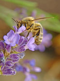 Bee and flower — Stockfoto