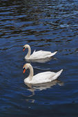 Two swans in the river — Stok fotoğraf