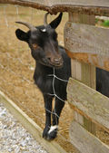 Black goat portrait — Stockfoto