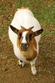Small goat portrait — Stockfoto