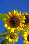 Sunflower — Photo