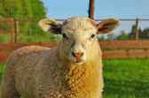 Young sheep portrait — Stockfoto