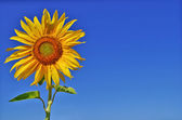 Sunflower and blue sky — Stock fotografie