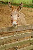 Brown donkey on the farm — Stock Photo