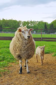 Sheep and lamb — Stock Photo