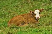 Cow, calf — Stock Photo