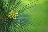 Pine tree, strobile close up — Stock Photo