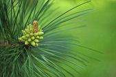 Pine tree, strobile close up — Stock Photo